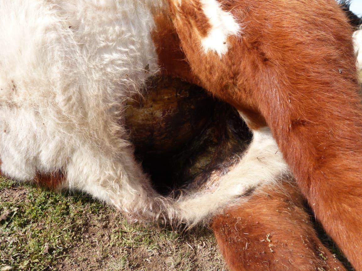 Chasicó – Crece el misterio, otra vez aparecieron vacas mutiladas