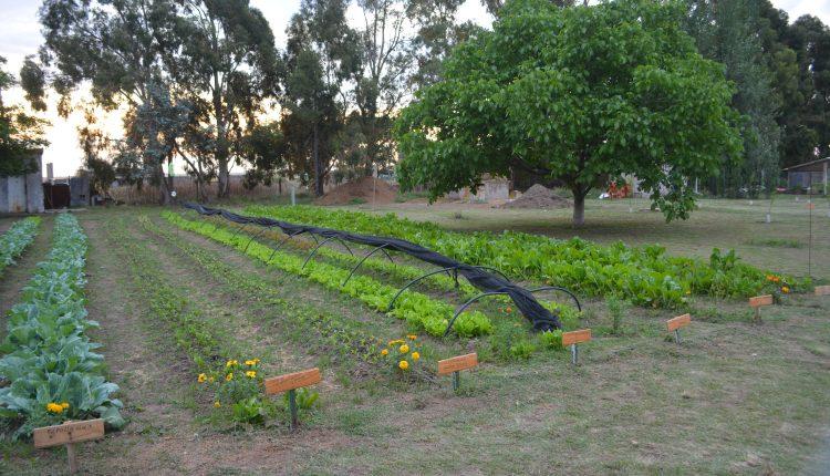 Tornquist – Se cosecharon más de 360 kg de verdura en la «Huerta Municipal»