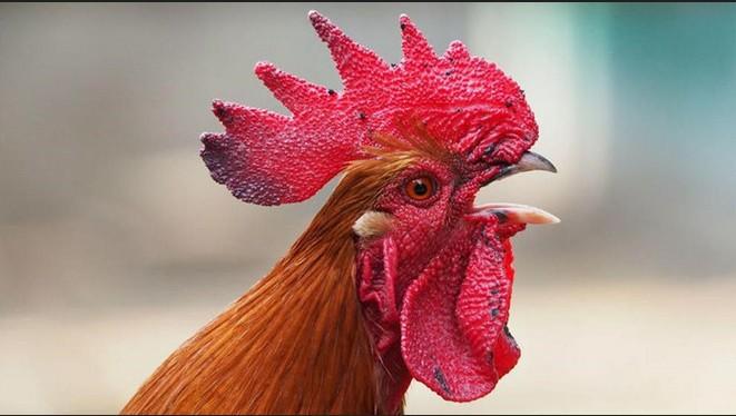 Coronel Pringles – Una multa de 40 mil pesos, quiere silenciar el canto de un gallo